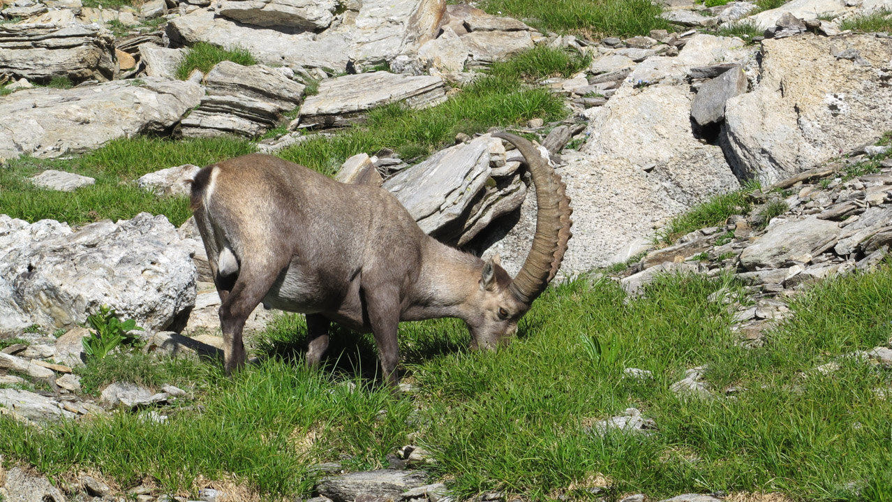 bigstock Male Alpine Ibex Grazing 81858341