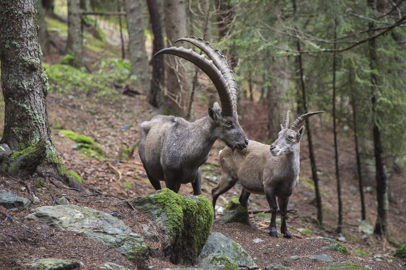 bigstock Male And Female Alpine Ibex 121380488