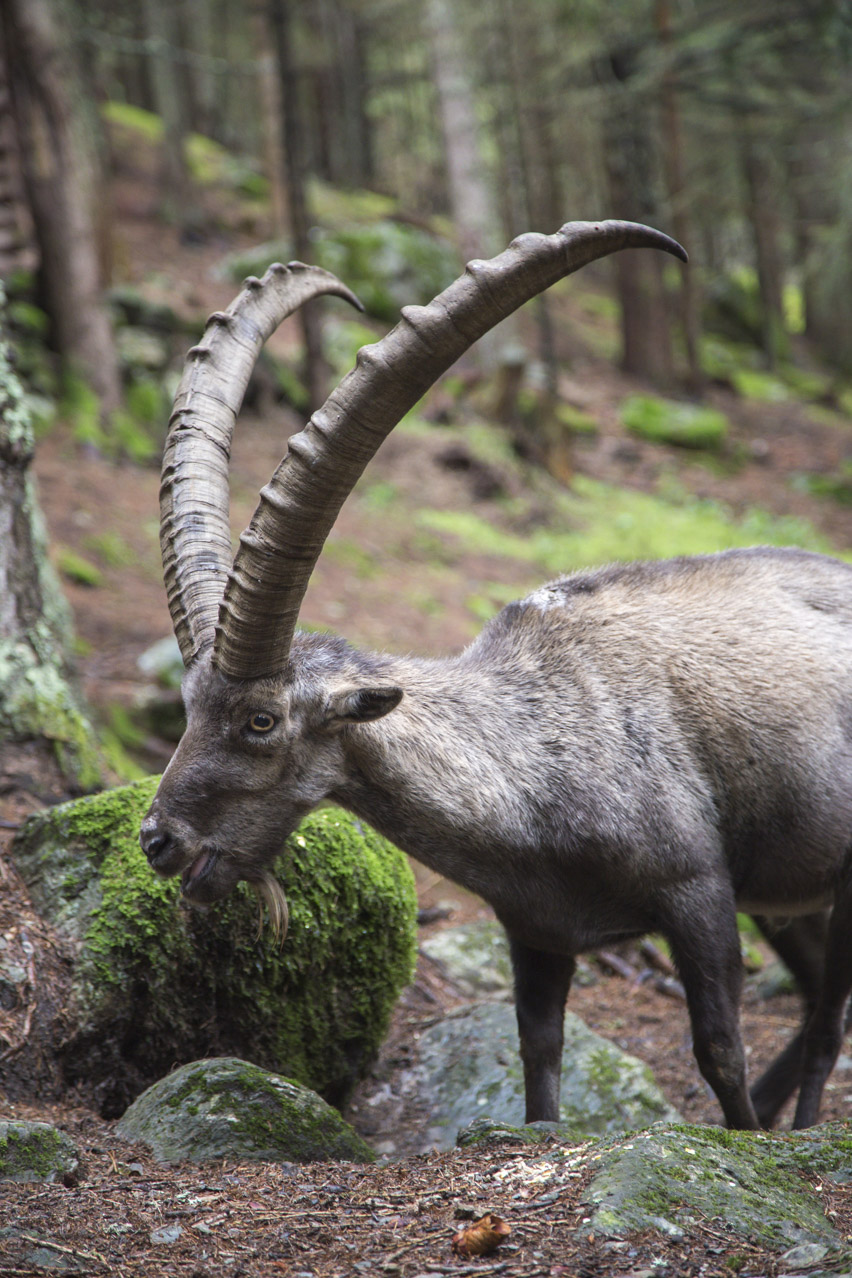 bigstock Male alpine ibex with huge hor 121258526